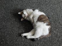 El gato est? dormido imagen de archivo