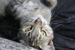 El gato, gato lindo, ojos de gato se pone verde Foto de archivo libre de regalías