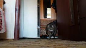 El gato gordo muy enfermo en las piernas finas que cruzan el cuarto y entonces se sienta Necesite ver a un veterinario almacen de video