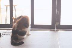 El gato gordo se está lamiendo y se está lamiendo, limpiando sí mismo imágenes de archivo libres de regalías
