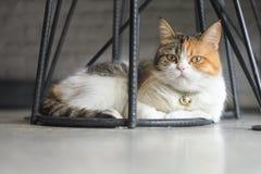 El gato gordo se está sentando debajo de una silla negra de la pierna del hierro imagenes de archivo