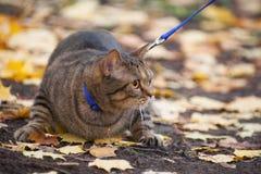 El gato grande con la naranja observa en el parque del otoño Imagenes de archivo