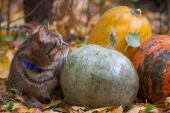 El gato grande con la naranja observa en el parque del otoño Foto de archivo libre de regalías