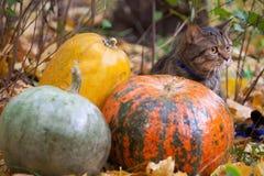 El gato grande con la naranja observa en el parque del otoño Fotos de archivo libres de regalías