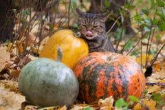 El gato grande con la naranja observa en el parque del otoño Fotos de archivo