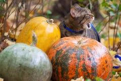El gato grande con la naranja observa en el parque del otoño Imagen de archivo libre de regalías