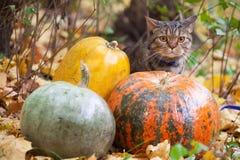 El gato grande con la naranja observa en el parque del otoño Imagen de archivo