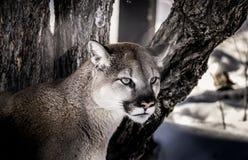 El gato grande mira fijamente en la distancia Fotos de archivo libres de regalías