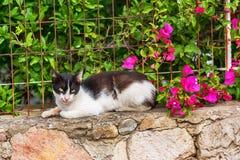 El gato griego miente cerca de bougaunvillea Fotografía de archivo libre de regalías
