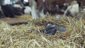 El gato gris asustado miente en el heno y mira alrededor con la granja del interés en el fondo Tomar una siesta almacen de metraje de vídeo