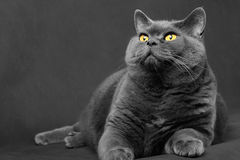 el gato Gris-azul de la raza británica miente y mira para arriba Imagen de archivo libre de regalías
