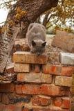 El gato gris ceniciento salta abajo del ladrillo wal Fotografía de archivo
