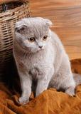 El gato gris con amarillo observa el doblez del escocés fotografía de archivo