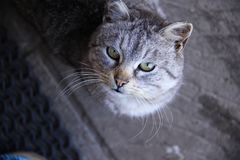 El gato gris con los ojos amarillos mira para arriba fotografía de archivo libre de regalías
