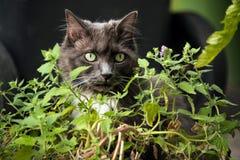 El gato gris con los ojos verdes ama comer la planta del catnip Foto de archivo libre de regalías