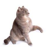 El gato gris de la sentada iba a ser protegido foto de archivo