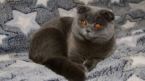 El gato gris del doblez escocés gira su cabeza metrajes