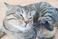 El gato gris del gato atigrado rasguñaba su barbilla Imagenes de archivo