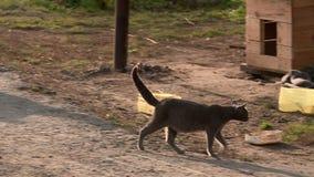 El gato gris embarazada está en la yarda del pueblo almacen de metraje de vídeo