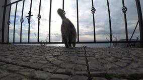 El gato gris frotó ligeramente en la cabeza almacen de metraje de vídeo