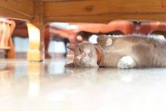 El gato gris graso está durmiendo debajo de la tabla imágenes de archivo libres de regalías