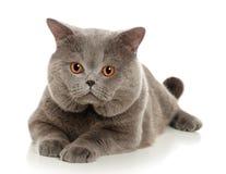 El gato gris hermoso Imagen de archivo