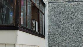 El gato gris hermoso se sienta en el balcón y los maullidos almacen de video