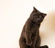 El gato gris intenta golpear Fotografía de archivo