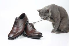 El gato gris juega con un zapato del marrón del ` s de los hombres del cordón de la obra clásica en el CCB blanco foto de archivo