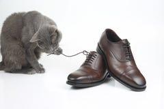 El gato gris juega con un zapato marr?n de los hombres cl?sicos del cord?n en el fondo blanco fotografía de archivo
