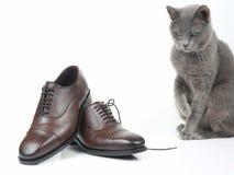 El gato gris juega con un zapato marr?n de los hombres cl?sicos del cord?n en el fondo blanco fotos de archivo libres de regalías