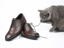 El gato gris juega con un zapato marr?n de los hombres cl?sicos del cord?n en el fondo blanco foto de archivo libre de regalías