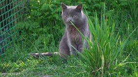 El gato gris lindo se sienta orgulloso en la hierba verde solamente metrajes