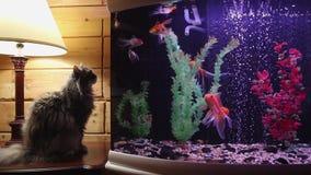 El gato gris mullido mira pescados en un acuario metrajes