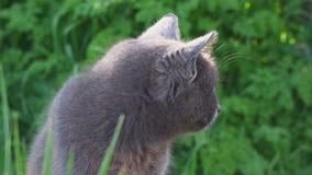 El gato gris orgulloso se sienta en la hierba solamente metrajes