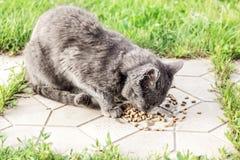 El gato gris sin hogar come la comida seca Fotos de archivo