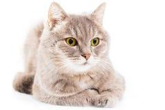 El gato gris tiene punto bajo sentado, se ha acurrucado abajo y mira a un lado Fotografía de archivo libre de regalías