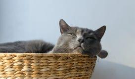 El gato gris tiene una siesta en la cesta de mimbre Fotos de archivo libres de regalías