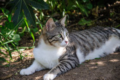 El gato gris y blanco hermoso disfruta de la sol del mediodía en jardín Foto de archivo libre de regalías