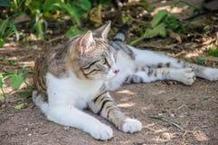 El gato gris y blanco hermoso disfruta de la sol del mediodía en jardín Fotografía de archivo libre de regalías