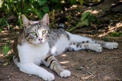 El gato gris y blanco hermoso disfruta de la sol del mediodía en jardín Fotos de archivo