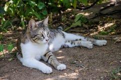 El gato gris y blanco hermoso disfruta de la sol del mediodía en jardín Imagen de archivo