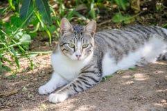 El gato gris y blanco hermoso disfruta de la sol del mediodía en jardín Imagen de archivo libre de regalías