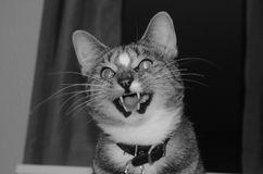El gato hambriento Fotografía de archivo libre de regalías