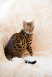 El gato hermoso de Bengala en la alfombra Foto de archivo