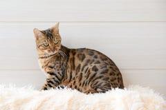 El gato hermoso de Bengala en la alfombra Imagen de archivo