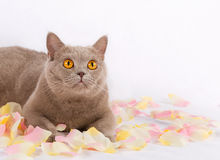 El gato hermoso está mintiendo Imagen de archivo libre de regalías