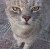 El gato huele la cámara del teléfono Imagen de archivo