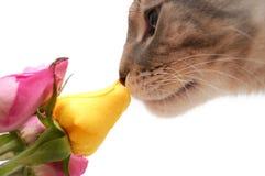 El gato huele la fragancia de rosas Imagen de archivo