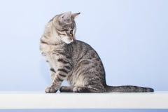 El gato joven da vuelta alrededor y mira detrás fotos de archivo